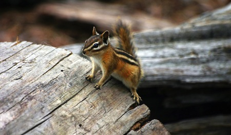 Chipmunk in Canada, helping with Blue Patch.org