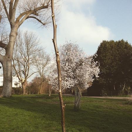 walnut tree, blue patch giving
