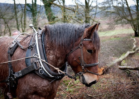 Rowan_working_horses_bluepatch_sustainable_jobs_britain_woodland