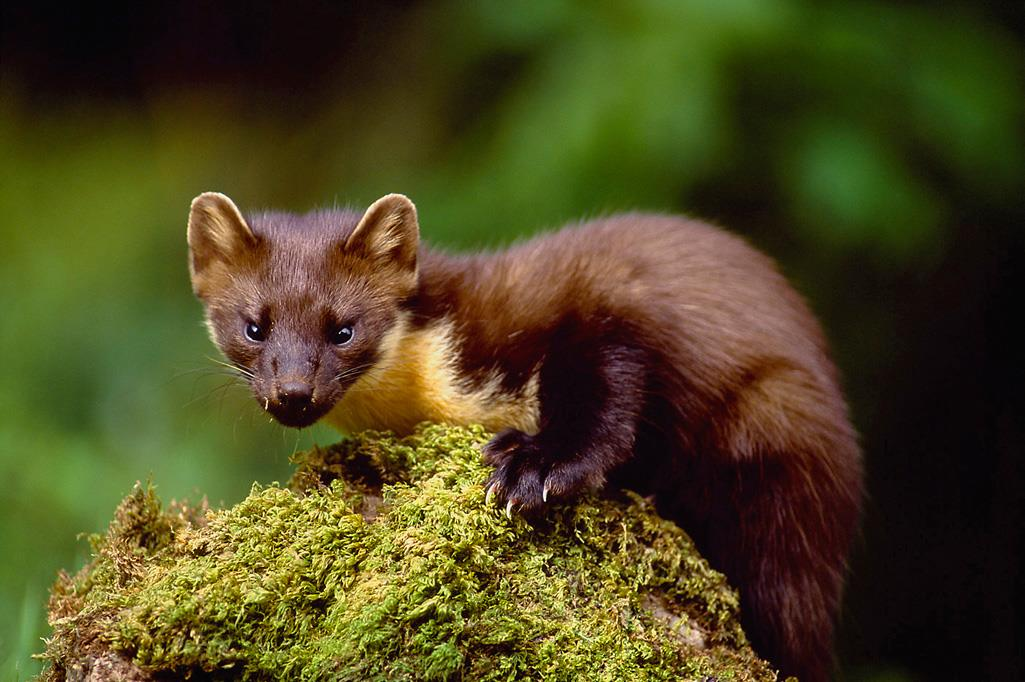 a pine martin on a mossy bank, showing sustainability and biodiversity in nature