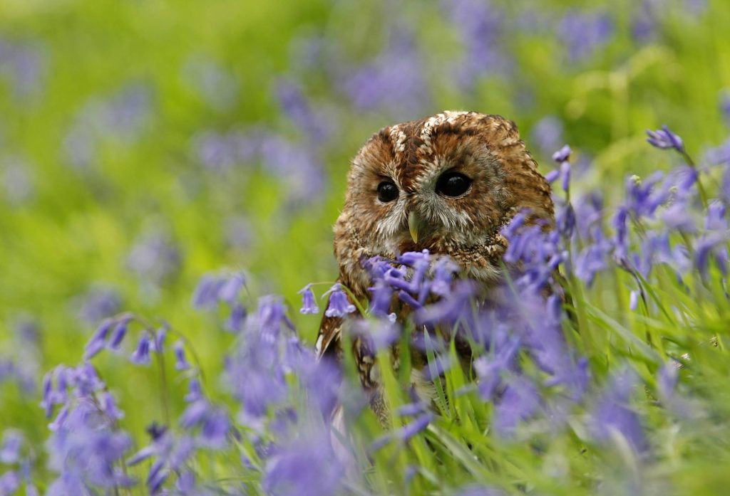 tawny owl sitting in a meadow of blue flowers, advertising the connection between biodiversity, sustainability and tackling climate change